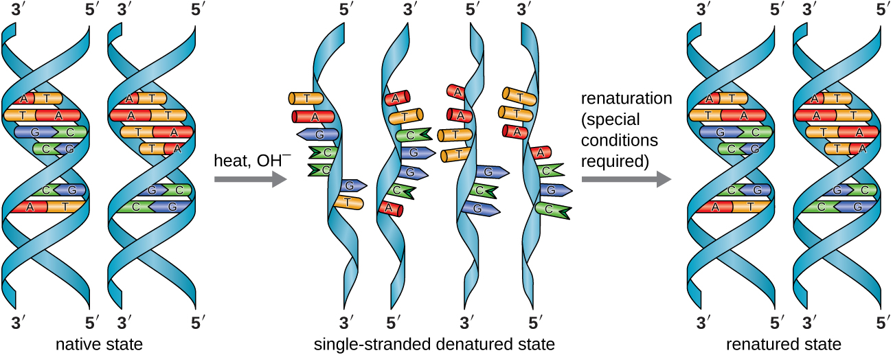 11 2 Structure And Function Of Dna  U2013 Microbiology