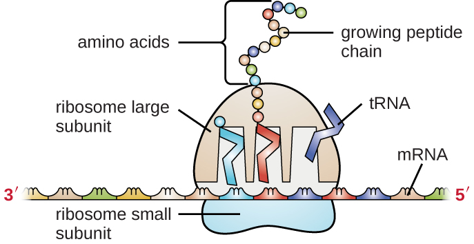 A generalized illustration of how mRNA and tRNA are used in protein synthesis within a cell.
