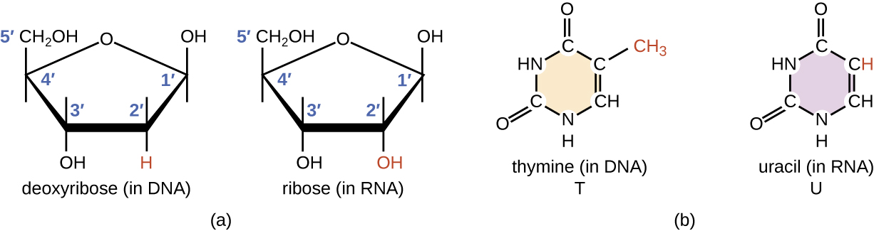 a) diagrams of ribose (in RNA) and deoxyribose (in DNA).