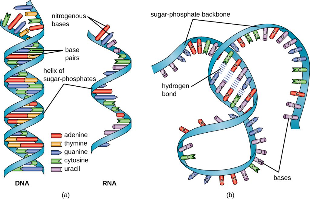 11 3 structure and function of rna  u2013 microbiology