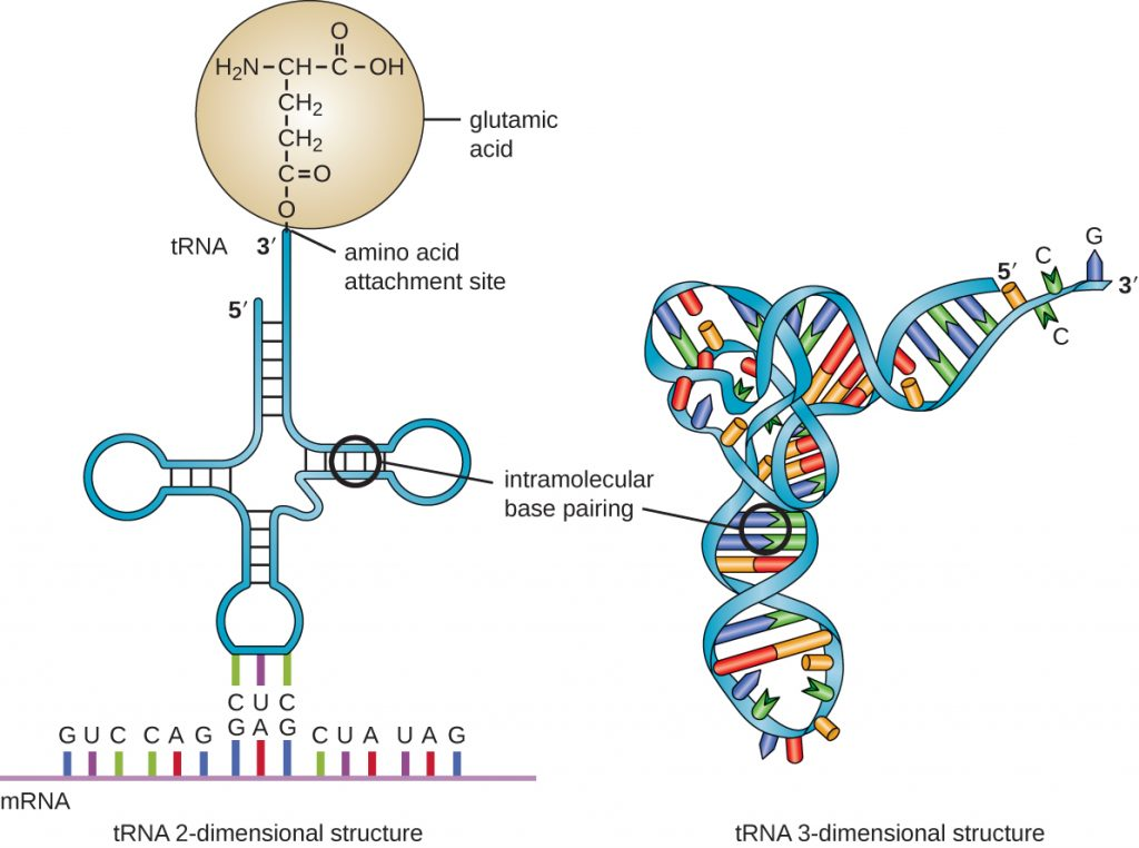A diagram of the 2-dimensional structure of tRNA.