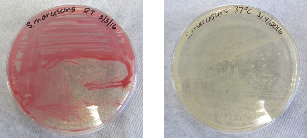 A photo of an agar plate with pink cells on the left and one with beige cells on the right. Both plates are labeled S. marcescens. The pink culture was grown at 28 degrees; the beige culture at 37 degrees.