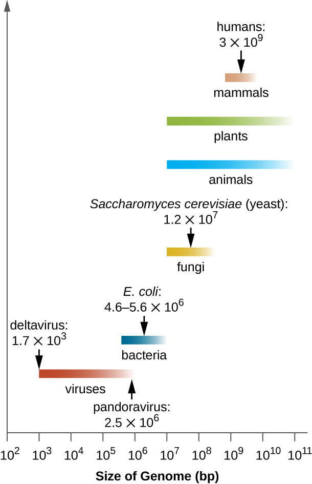 A graph showing the variability of genome sizes among different organisms and viruses.