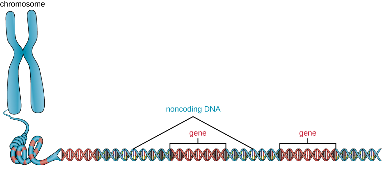 A chromosome drawn as an X shape. As the strand unravels we see that it is a long double helix with genes interspersed with noncoding regions.