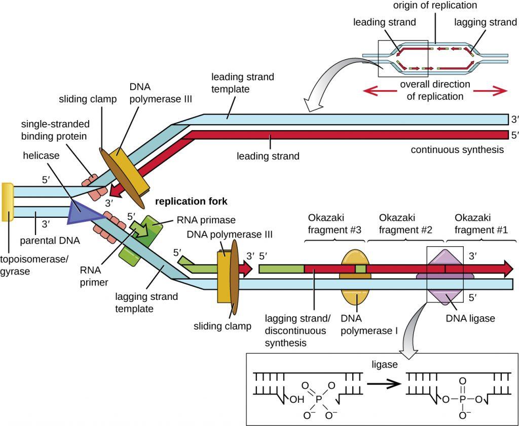 Diagram of DNA replication.