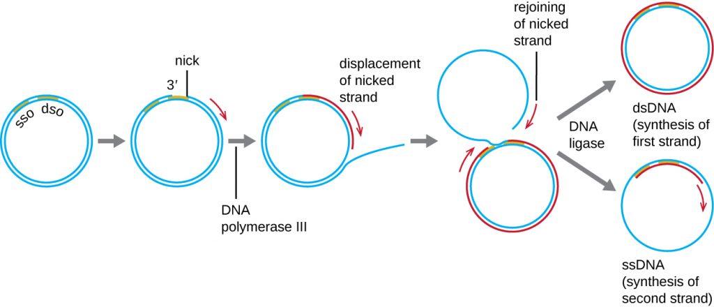 12.2 DNA Replication �...