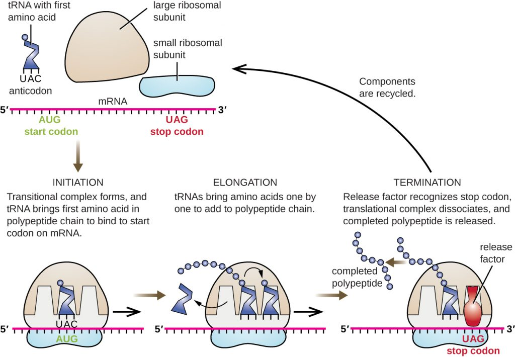 Diagram showing the process of translation in bacteria.