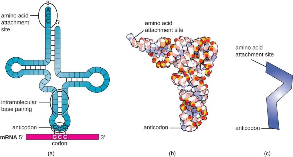 Three different drawings of tRNA. A) shows a single strand folded into a cross shape with intramolecular base pairing. The 3' end at the top is labeled amino acid attachment site and has the sequence ACC. The 5' end is also at the top. At the base of the cross is a three letter grouping called anticodon. This is complementary to a three letter set on the mRNA called a codon. B) shows a space filling 3-D model that is shaped like an L. One end is the amino acid attachment site and the other is the anticodon. C) is a ver simplified drawing shaped like zigzag; one end is the amino acid attachment site and the other is the anticodon.