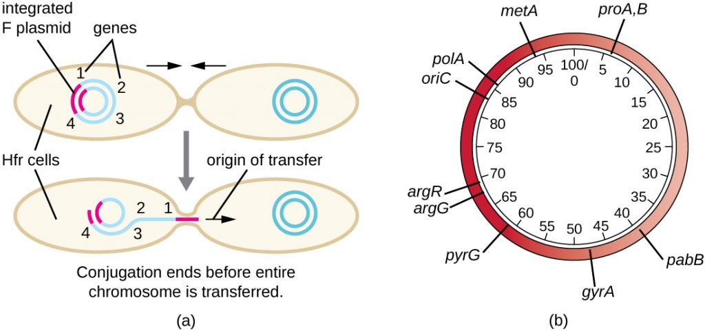 a) Diagram showing one cell with multiple genes on its chromosome as well as an integrated F plasmid. This cell begins copying and transferring its entire genome but conjugation ends before the entire chromosome is transferred. B) A sample plasmid showing the variety of genes on the plasmid. Some sample genes include: argG, pabB, metA, argR, polA, and oriC. Numbers in the centre of the plasmid indicate the location of genes; these numbers show a plasmid of 1000bp total.