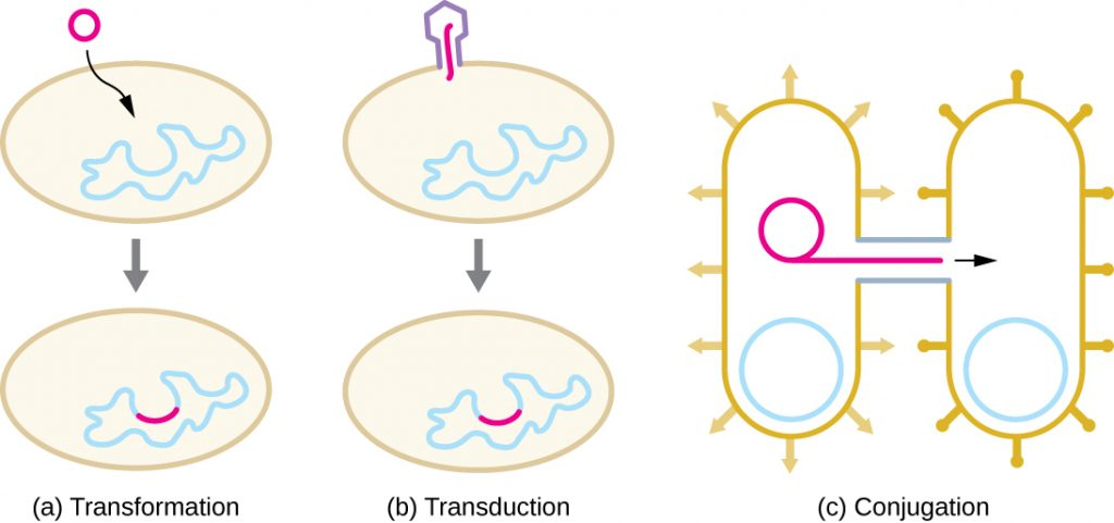 a) Transformation is when DNA enters into a cell and is incorporated into the genome. B) transduction is when a virus injects DNA into a cell and this DNA is incorporated into the genome. C) Conjugation is when one bacterial cell copies its plasmid and sends that copy to another bacterial cell via a pilus (bridge of cytoplasm).