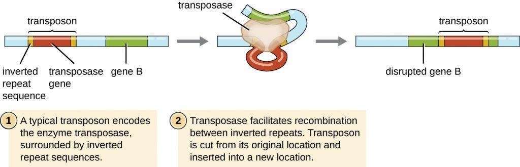 Diagram of a transposon.