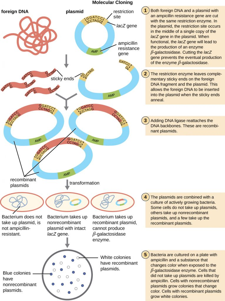 A diagram depicting the cloning of foreign DNA into a plasmid vector, followed by bacterial transformation.