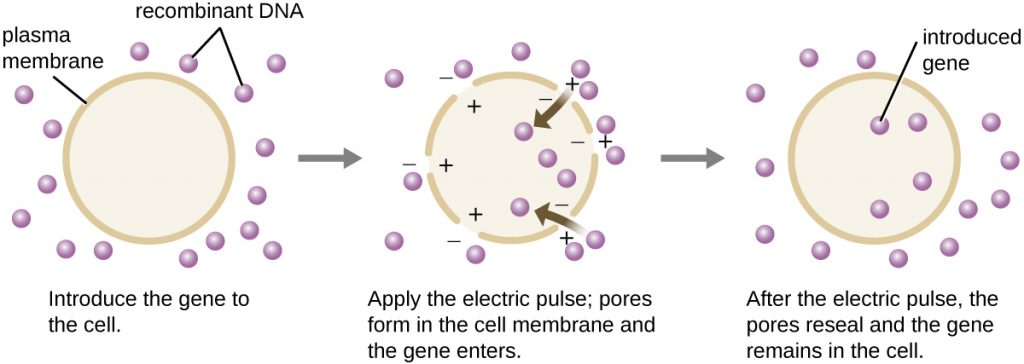 A diagram showing the process of electroporation.