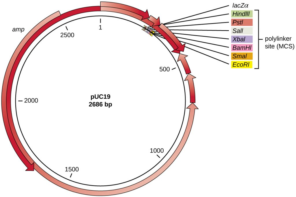 The pC19 plasmid is 2686 bp long and is circular. There are a number of arrows of various lengths moving clockwise or counterclockwise around the circle. The circle has the number 1 at the very top and at about position 225 (moving clockwise from 1) is a plylinker site (MC) that contains the following restriction enzyme sites: HidIII, PSTI, SaII, XbaI, BamHI, SmaI, EcoRI. At the beginning of the polylinker site is lacZ-alpha. At position 2500 and moving counterclockwise is the amp gene.