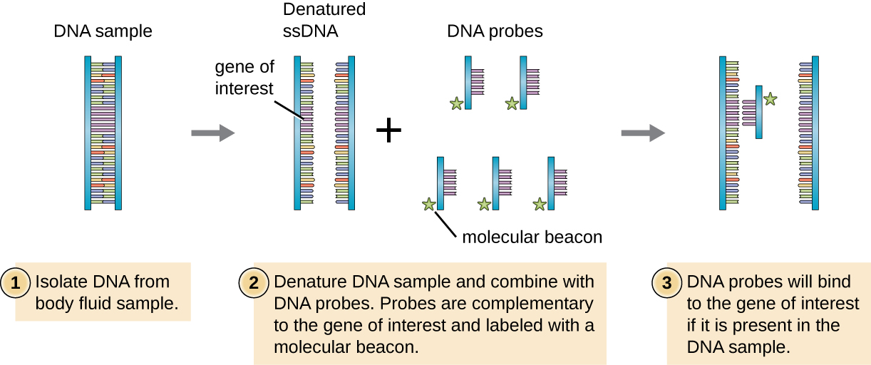 a diagram of dna probe  first a gene of interest is identified and cloned