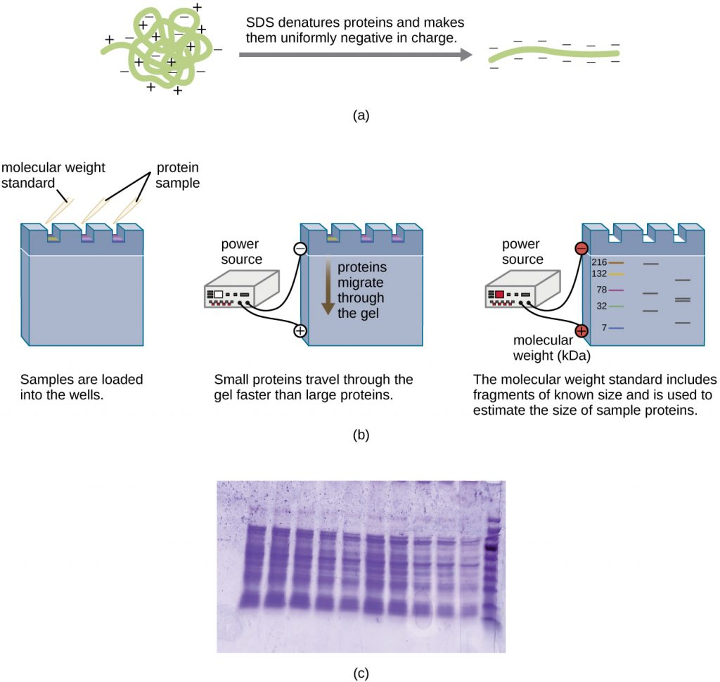 A diagram showing the process of SDS-PAGE starting from a charged, globular protein, as well as a photograph of a stained gel.