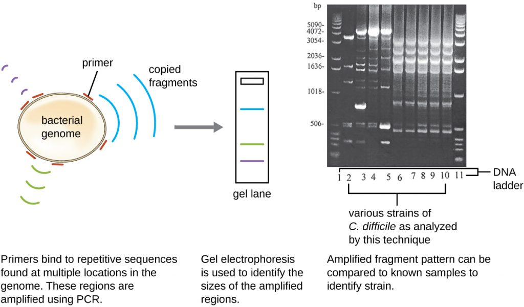 A diagram of molecular analysis. A circular bacterial genome is shown. Primers bind to repetitive sequences found at multiple locations in the genome. These regions are amplified using PCR. Gel electrophoresis is used to identify the size of the amplified regions. Amplified fragment patters can be compared to known samples to identify strains.