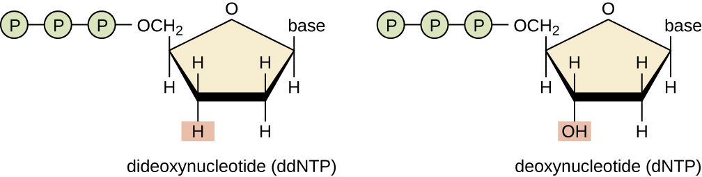 """A drawing of dNTPs and ddNTPs. Deoxynucleotide (dNTP) is a nucleotide with an OH at carbon #3. This is drawn as a pentagon with an O at the top. Moving counterclockwise – the next point has the word """"base"""", the next only has H's, the next has an OH, and the last has 3 phosphates. Dideeoxynucleotide (ddNTP) is a nucleotide with an H at carbon #3. This is drawn as a pentagon with an O at the top. Moving counterclockwise – the next point has the word """"base"""", the next only has H's, the next aso has only H's, and the last has 3 phosphates."""