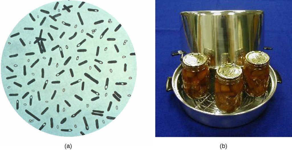 a) A drawing of a microscope image. Small rod shaped cells with a small clear circle at one end. Also visible are rods with no clear circles and tiny circles outside of the rods. B) home canning jars in a pot.