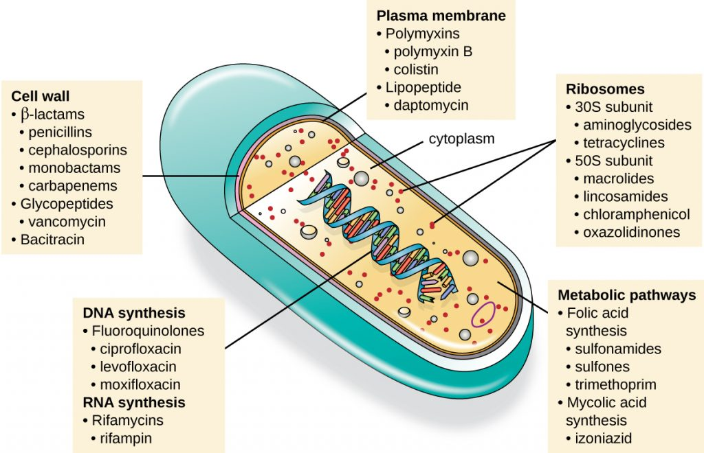 An illustration of the ultrastructure of a bacterial cell and the targets of the major classes of antibacterial compounds.