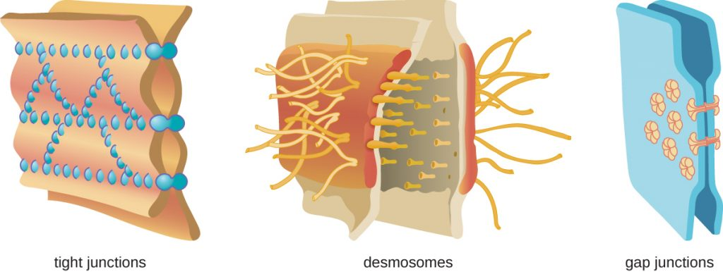 Tight junctions – two membranes connected with many spot welds in multiple lines. Desmosomes – two membranes with long strands weaving them together. Gap junctions – two membranes with a few spot welds each of which has a pore in the centre.