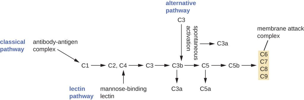 A diagram outlining the three complement pathways.