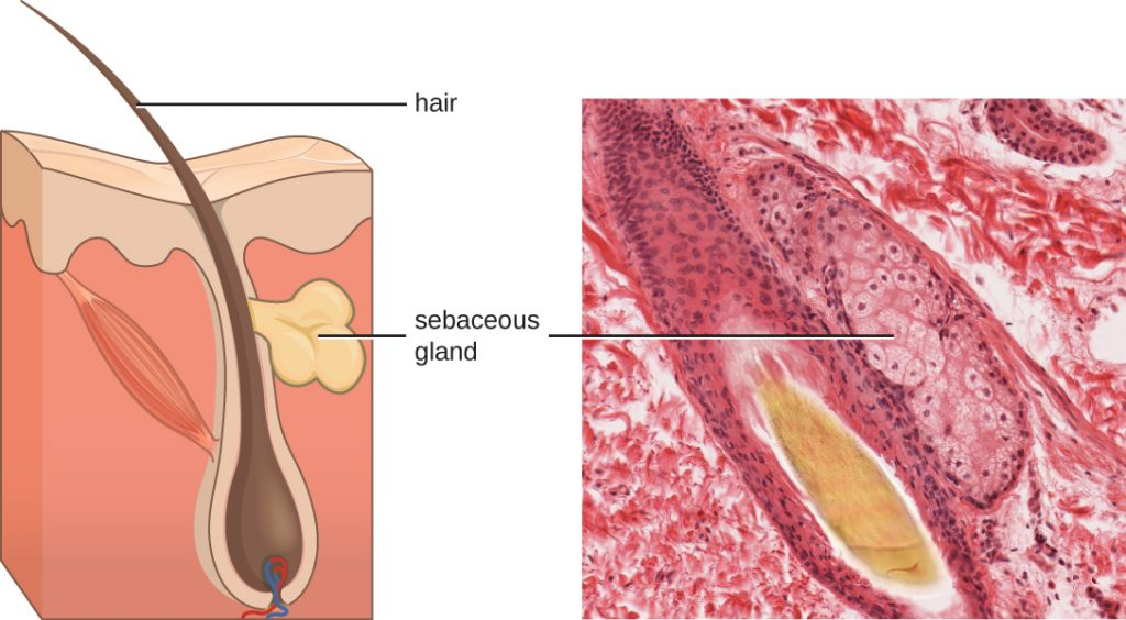 A micrograph and diagram both show a large hair follicle (a vase-shaped pocket) with a hair projecting out past the epidermis. On the side of the hair follicle is the sebaceous gland, which is a lumpy structure.