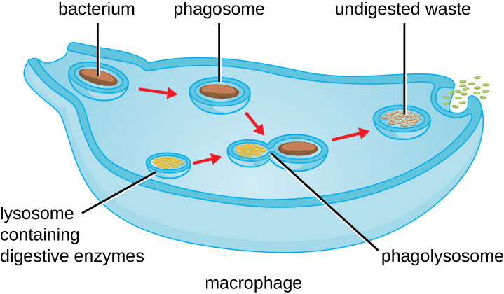 Pseudopods of the larger cell engulf a smaller cell labeled infectious bacterium. The resulting vesicle containing the bacterium is labeled phagosome. This fuses with a lysosome which contains digestive enzymes. The resulting vesicle is labeled phagolysosome. Exocytosis removes the remaining debris.