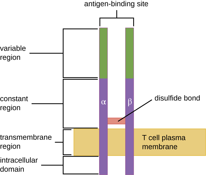 Drawing of a two bars spanning the T cell plasma membrane. On one side of the membrane is the intracellular domain. The transmembrane region spans the membrane. The constant region is outside the membrane; a disulphide bond holds these two bars together in the constant region. The variable region is at the top and contains the antigen binding sites.