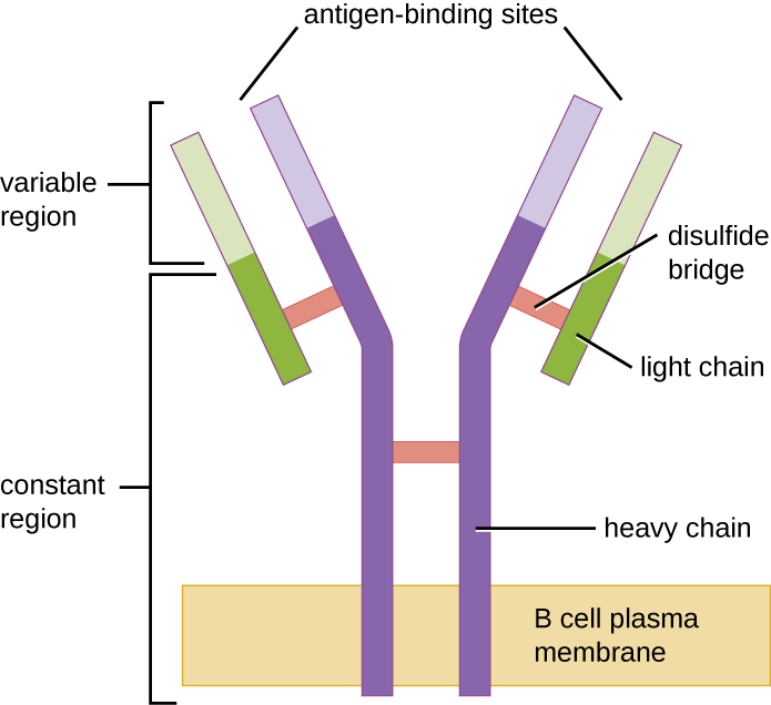 A diagram of a B cell receptor, the Fc end of which is embedded in the plasma membrane.