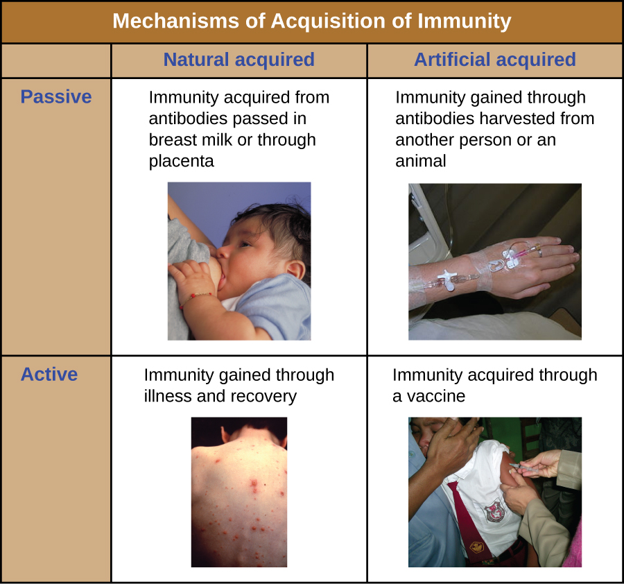 Table depicting the 4 mechanisms of acquiring immunity.