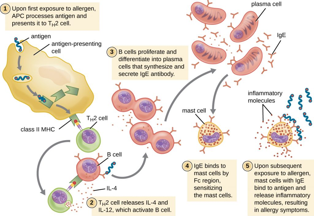 Drawing of TH2 cell response.