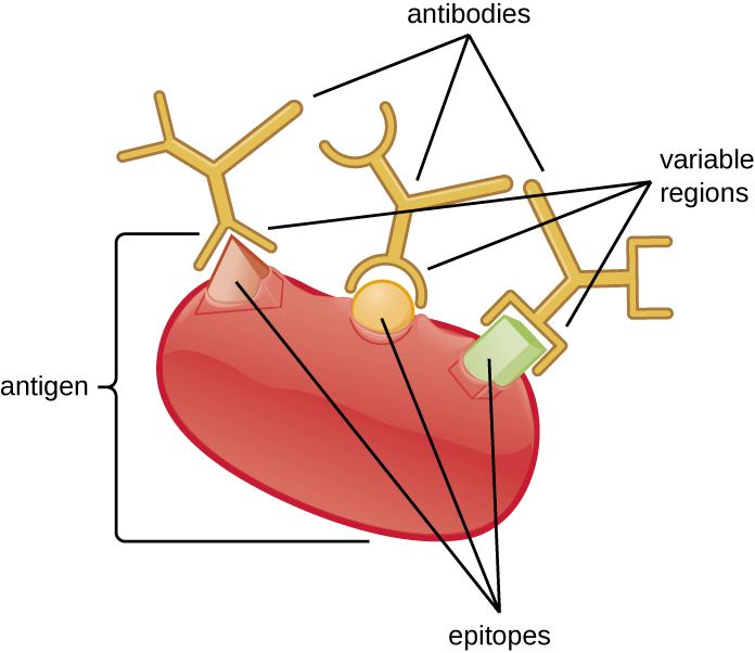 A large structure labeled antigen has different shaped pieces on it labeled epitopes. Each epitope is bound to an antibody that mas a matching pocket to fit the epitope's shape.