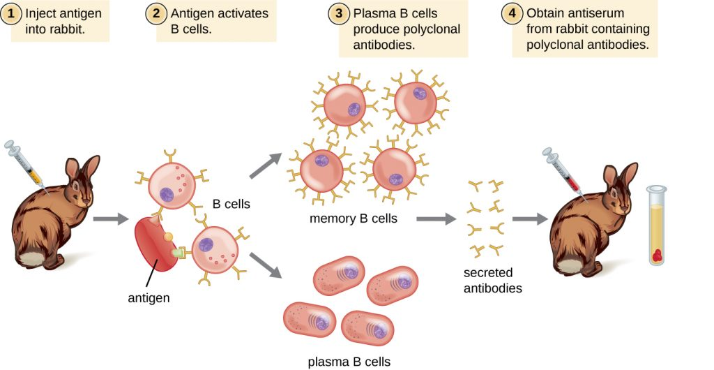 Diagram showing production of polyclonal antibodies. Antigen is injected into an animal (such as a rabbit). Antigen activates B cells. This produces clones of the B cells, and clones of the plasma cells. Polyclonal antibodies from different B cells are produced in response to different epitopes on the antigen. Serum obtained from animal contains polyclonal antibodies.