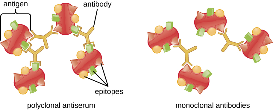 Figure depicting cross-bridging of polyclonal antibodies between antigens leading to precipitation.