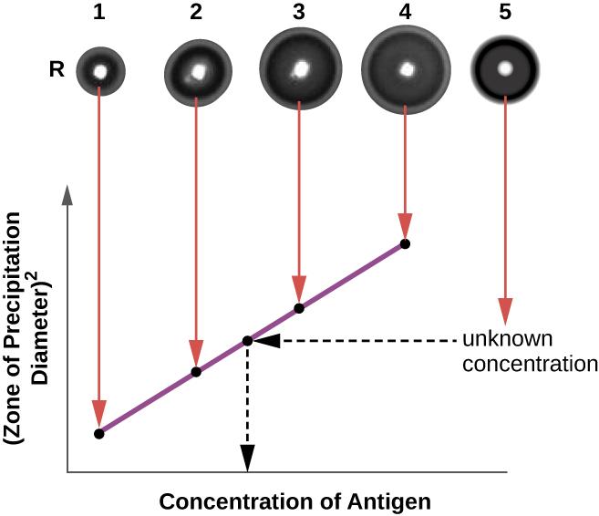 Diagram depicting a radial immunodiffusion assay.