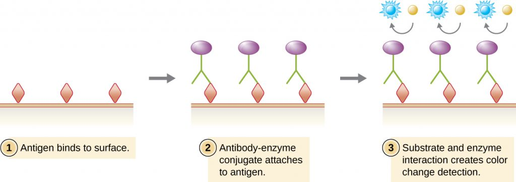 Viral antigens (drawn as diamonds) are attached to a surface. Antibodies (drawn as Y's) with an enzyme conjugate (purple circle) attached to them bind to the viral antigens. A substrate (drawn as a blue circle) interacts with the enzyme on the antibody and changes colour for detection.