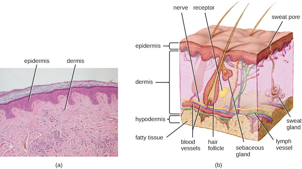 A micrograph and diagram depicting the different layers of human skin.