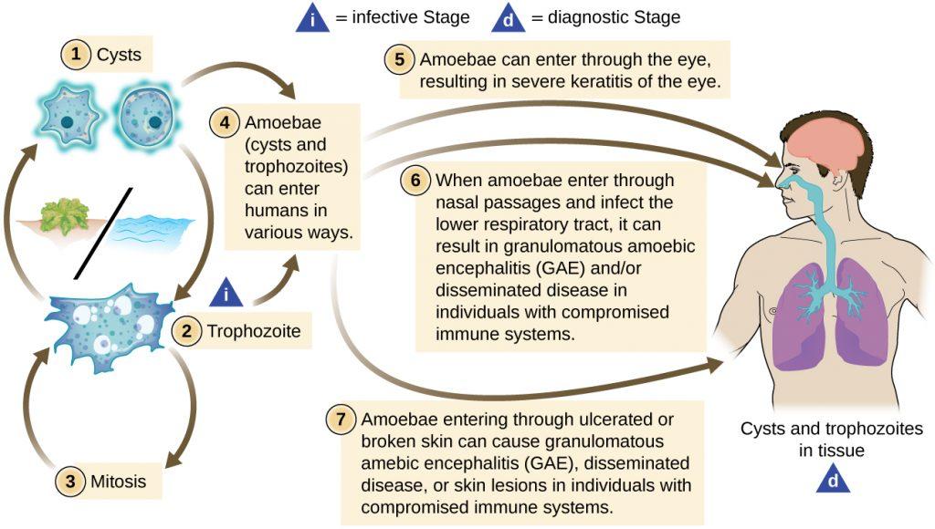 Diagram depicting the life cycle of Acanthamoeba.
