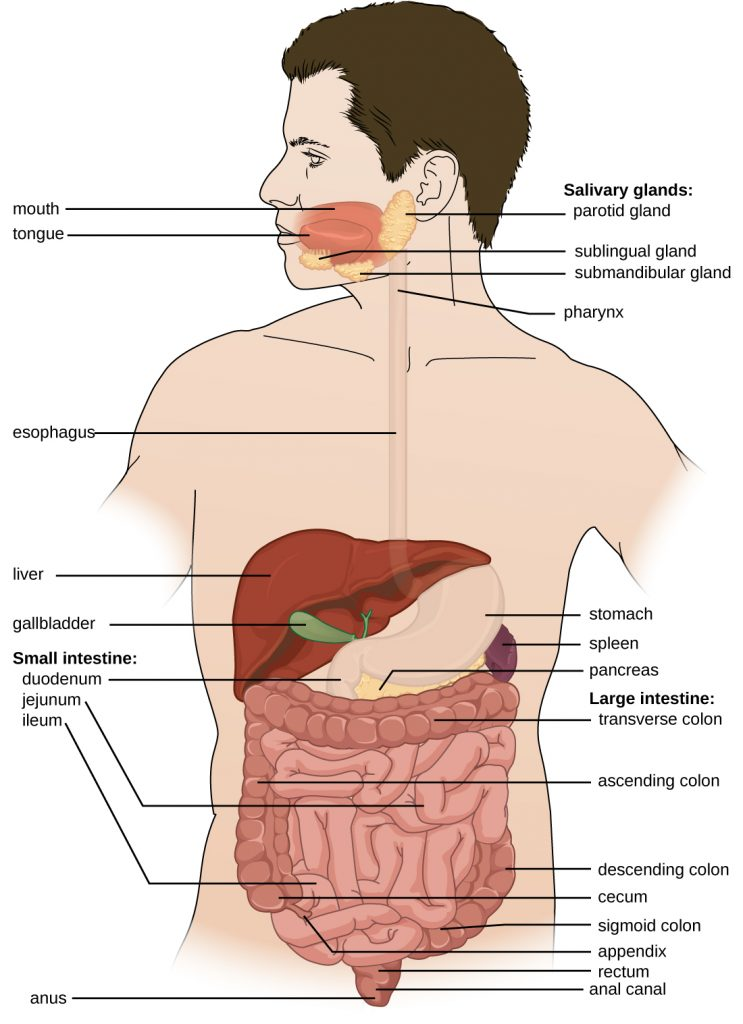 Diagram of the human digestive system.