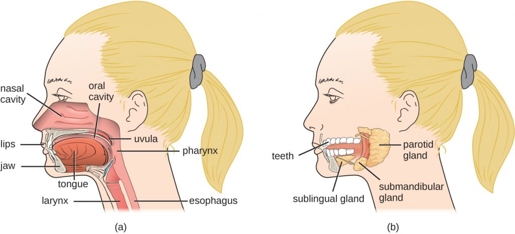 Diagram of the structures of the head and neck.