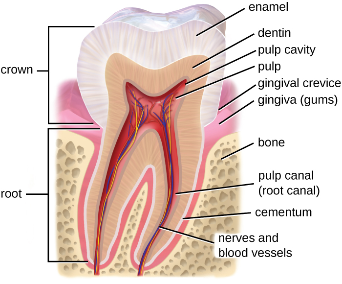 Structure of a tooth.