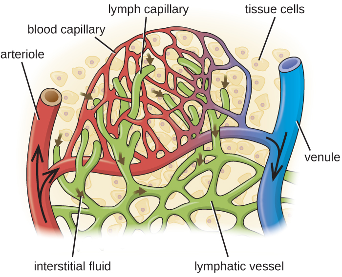 Blood enters the capillaries from an arteriole (red) and leaves through venules (blue). Interstitial fluids may drain into the lymph capillaries (green) and proceed to lymph nodes. A close-up of tissue cells in interstitial fluid. An arteriole and a venule are connected by a network of capillaries. Lymphatic vessels are also a network in this region and end in lymph capillary