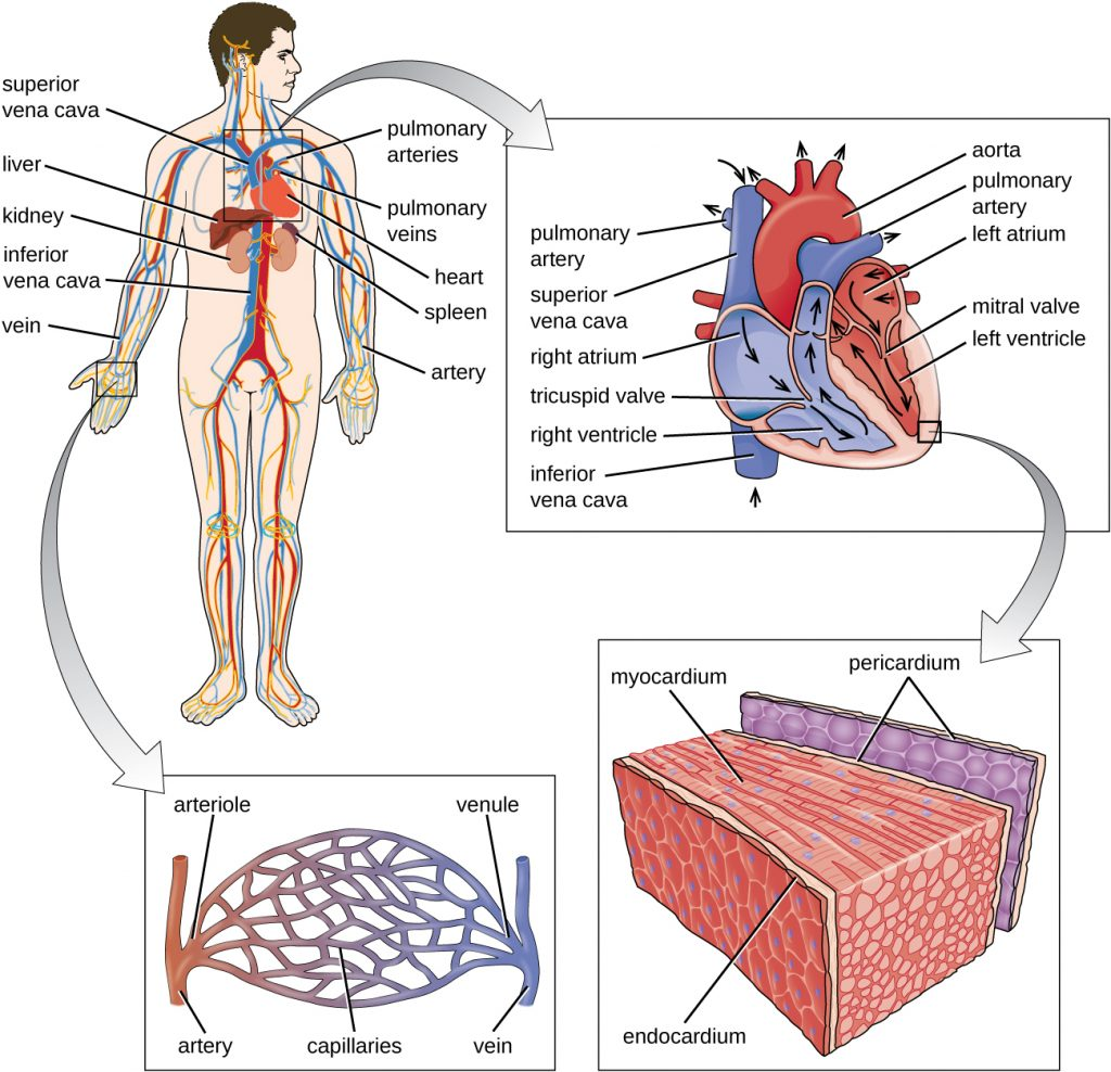 Diagram of the major components of the human circulatory system.