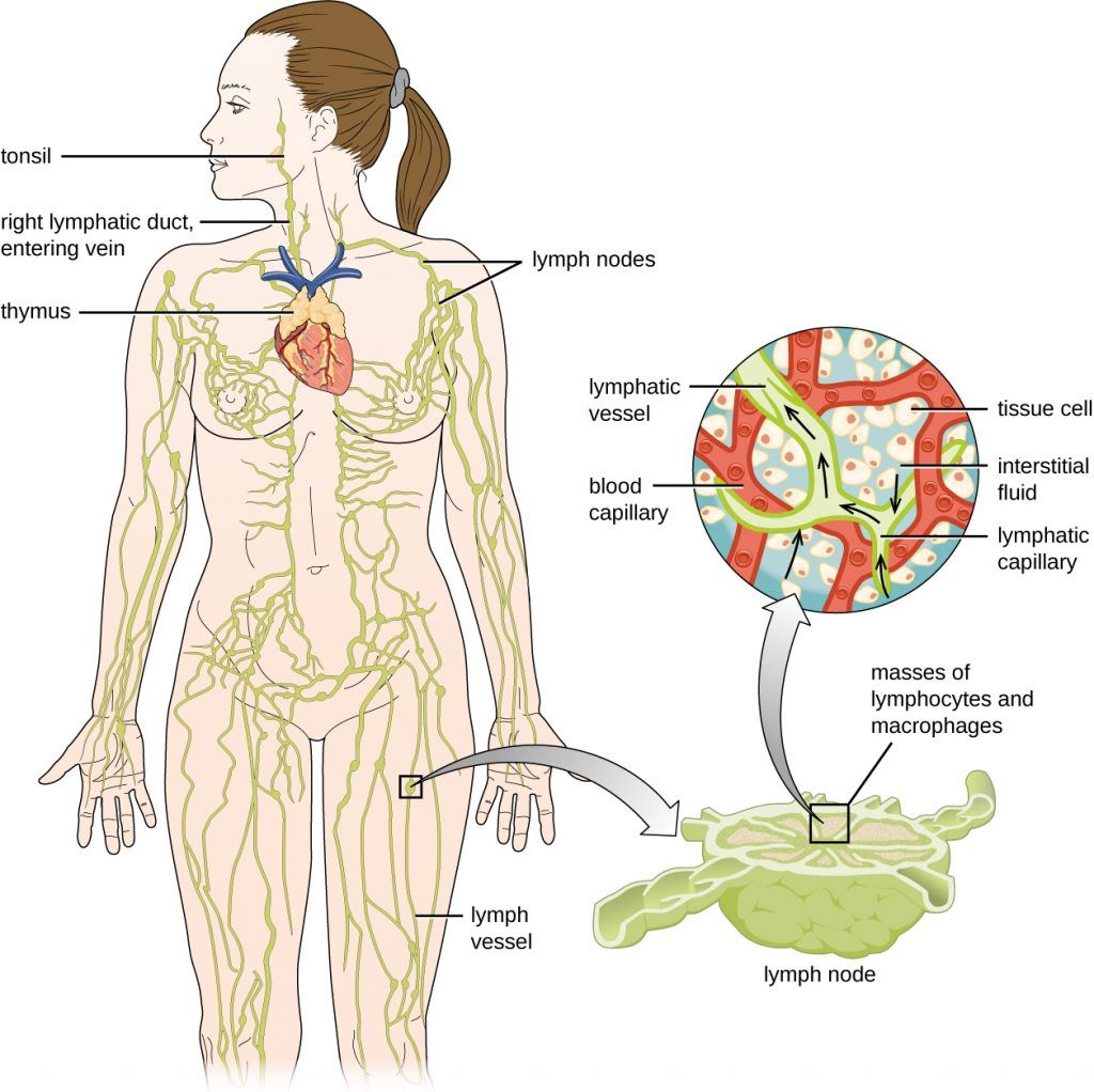 """Diagram of the lymphatic system. Lymph notes are swellings on tubes (called lymph vessels) that travel throughout the body. The right lymphatic duct and entering vein are in the neck. A tonsil is a swelling on the lymph vessel in the mouth. The thymus is a lumpy structure on the heart. A close-up of a lymph node shows a roundish structure with many tubes attached to it. The central area has a box labeled """"masses of lymphocytes and macrophages"""". A close-up of this area shows tissue cells in the background with a blood capillary network. Lymph vessels run between the blood capillary network. Lymphatic capillaries are the ends of the lymph vessels. Fluid from around the cells (called interstitial fluid) enters the lymphatic capillaries and travels through the lymphatic vessels."""