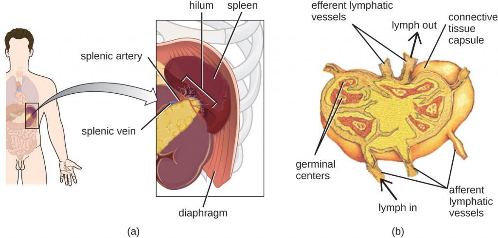 A diagram showing the location and structure of the human spleen.
