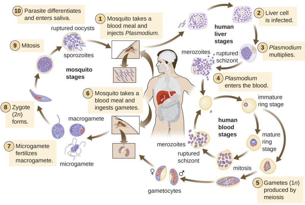 Diagram depicting the life cycle of Plasmodium.