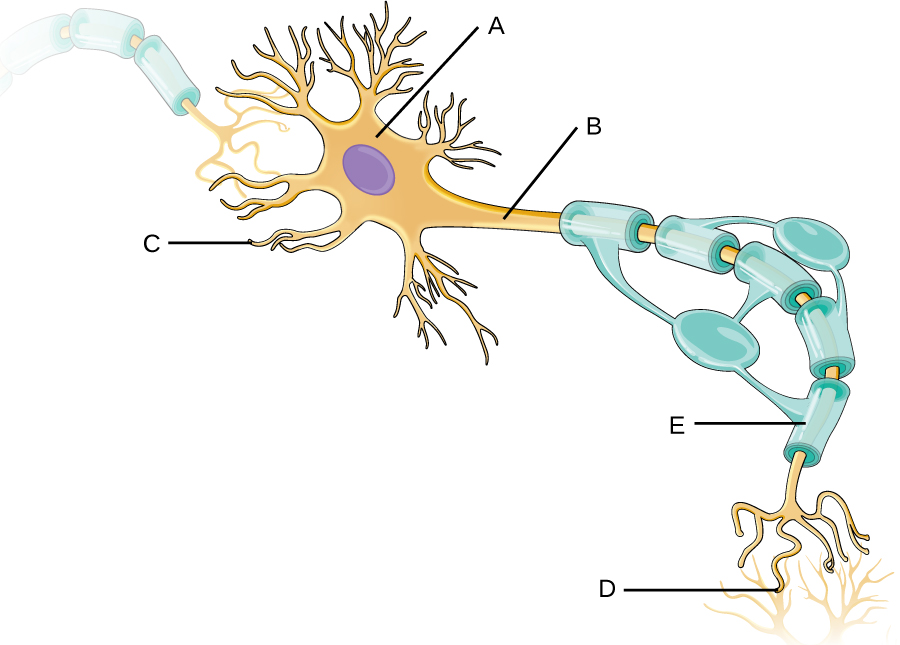 Labelling exercise for a myelinated neuron.