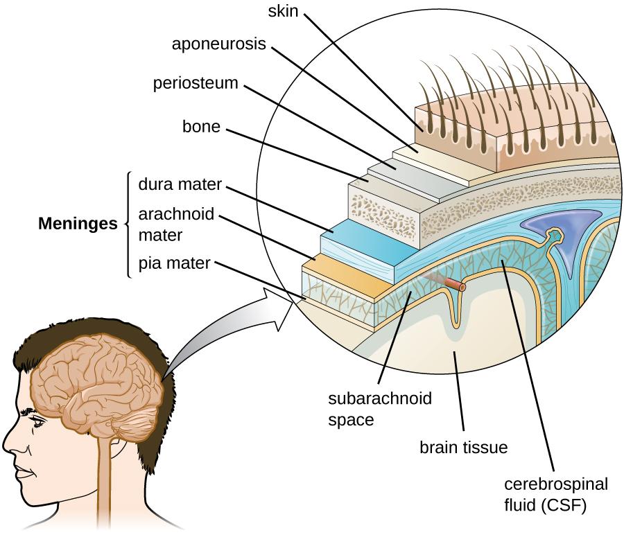 Diagram of layers around the brain.