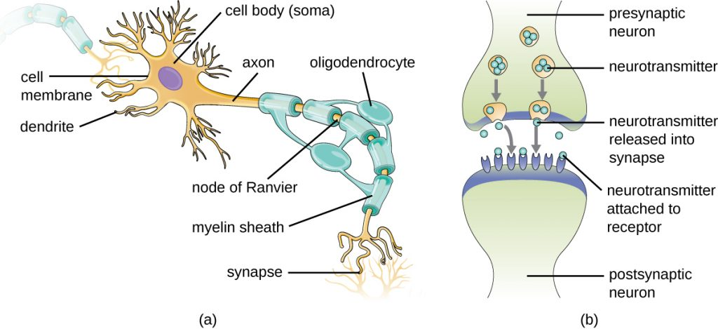 A drawing of a myelinated neuron and a synapse.